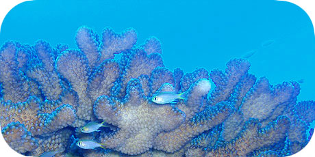>>> Protective shelter of a Pocillopora coral © Pacific Divers