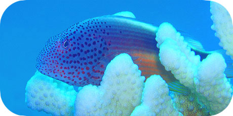 >>> Freckled Hawkfish © Pacific Divers
