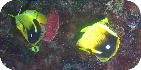 >>> Fourspot Butterfly fish © Pacific Divers