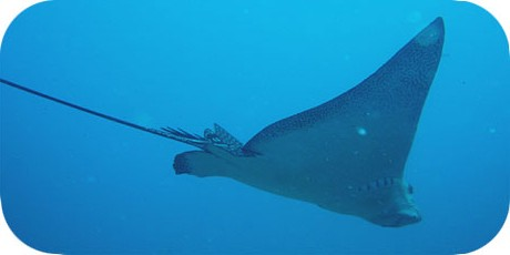 >>> Eagle ray gliding overhead © Pacific Divers